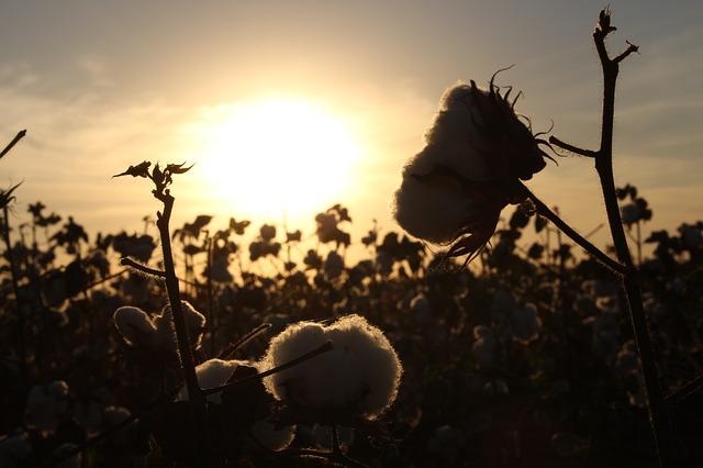 Top cotton buyers flock to India as hurricanes hit U.S. crop
