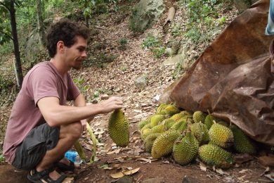 Durians at the Burliar State Horticultural Farm – courtesy Durian Travel Guide