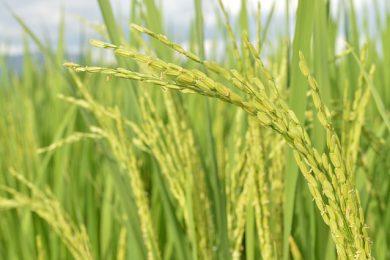 rice-3516093_640