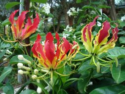 Flame-Lily