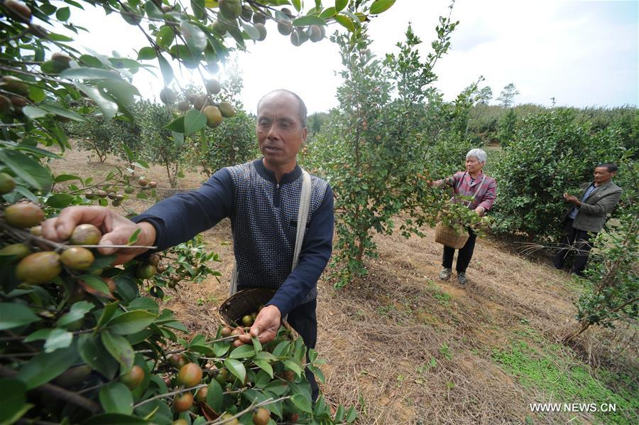 Planting of oil-tea camellia raises villagers' income in China's Guizhou
