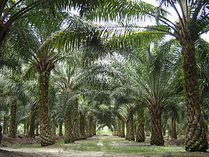 Malaysia could replace Indonesia as top palm oil supplier to India – trade