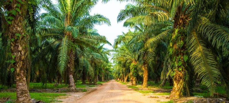 palm-oil-plantation-malaysia-46117853